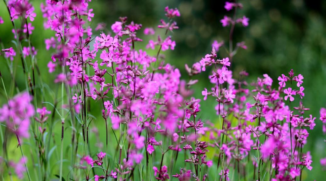 Wiese Lila Blüten