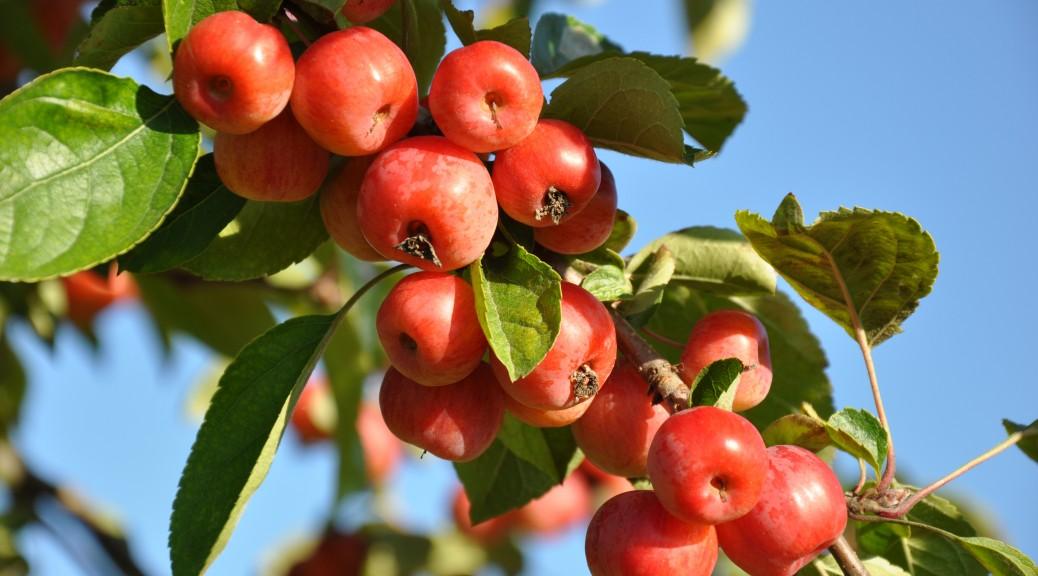 Spätsommer-Äpfel